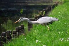 πουλί που πιάνει τον γκρί&zeta Στοκ εικόνα με δικαίωμα ελεύθερης χρήσης