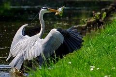 πουλί που πιάνει τον γκρί&zeta Στοκ φωτογραφίες με δικαίωμα ελεύθερης χρήσης