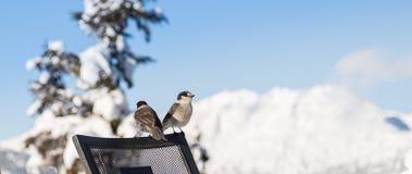 Πουλί που σκαρφαλώνει σε μια καρέκλα με ένα χιονώδες βουνό στο υπόβαθρο στοκ εικόνες