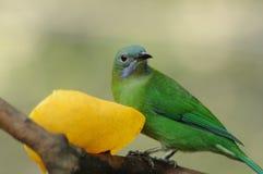 πουλί πράσινο Στοκ φωτογραφίες με δικαίωμα ελεύθερης χρήσης