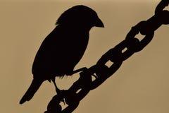 Πουλί σε μια αλυσίδα - σκιαγραφία στοκ εικόνες
