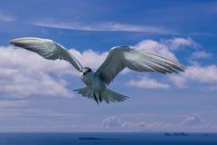 Πουλί στερνών στον ουρανό Στοκ φωτογραφία με δικαίωμα ελεύθερης χρήσης