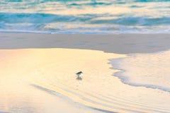 Πουλί στην ακτή του παραδείσου Playa παραλιών του νησιού Cayo βραδύτατου, Κούβα Στοκ Εικόνες