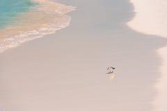 Πουλί στην ακτή του παραδείσου Playa παραλιών του νησιού Cayo βραδύτατου, Κούβα Στοκ Φωτογραφία
