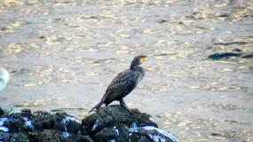 Πουλί στο βράχο κοντά στην ακτή Στοκ φωτογραφία με δικαίωμα ελεύθερης χρήσης