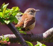 Πουλί της Καρολίνας Wren που σκαρφαλώνει σε έναν κλάδο δέντρων στοκ φωτογραφία