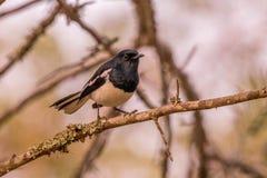 Πουλί της Robin κισσών στο μέσο δάσος Στοκ Φωτογραφίες