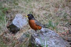 Πουλί της Robin, Χριστίνα Lake BC Καναδάς στοκ εικόνα με δικαίωμα ελεύθερης χρήσης