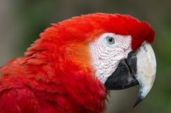 Πουλί του Μακάου στο Μεξικό Στοκ εικόνα με δικαίωμα ελεύθερης χρήσης