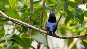 πουλί τροπικών δασών σε έναν κλάδο φιλμ μικρού μήκους