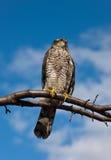 πουλί υπερήφανο Στοκ Εικόνες