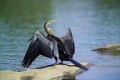 πουλί anhinga Στοκ Φωτογραφία