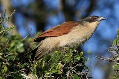 πουλί burchell το coucal s Στοκ Εικόνες