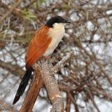πουλί burchell coucal Στοκ Φωτογραφία