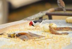 Πουλί Cavalaria γνωστό επίσης ως Cardeal do Pantanal Στοκ φωτογραφίες με δικαίωμα ελεύθερης χρήσης