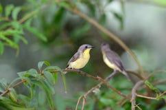 πουλί flyeater στοκ φωτογραφίες με δικαίωμα ελεύθερης χρήσης