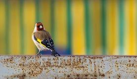 Πουλί Goldfinch σε ένα σκουριασμένο μεταλλικό πιάτο σε ένα φωτεινό ριγωτό κλίμα στοκ φωτογραφίες με δικαίωμα ελεύθερης χρήσης