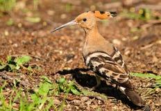 πουλί hoopoe Στοκ φωτογραφίες με δικαίωμα ελεύθερης χρήσης