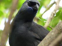 Πουλί Kokako βόρειων νησιών της Νέας Ζηλανδίας Στοκ Εικόνες