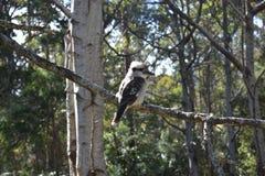 Πουλί Kookaburra, χαρακτηριστικό της Αυστραλίας στοκ φωτογραφία