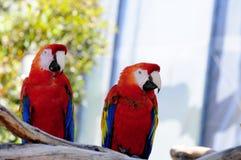 πουλί macaws ερυθρό Στοκ Εικόνες