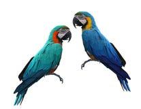 Πουλί Macaws που απομονώνεται στο άσπρο υπόβαθρο στοκ εικόνα με δικαίωμα ελεύθερης χρήσης
