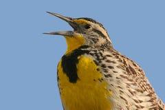 πουλί meadowlark που τραγουδά στοκ φωτογραφίες
