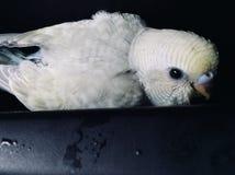 Πουλί parakeet Στοκ Εικόνες