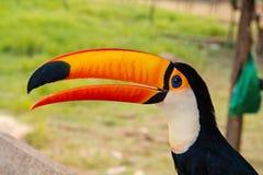 Πουλί Toucan boca de Valeria, Βραζιλία Toco toucan στη φύση όμορφο toucan πουλί με το πορτοκαλί ράμφος toucan μέσα στοκ φωτογραφία με δικαίωμα ελεύθερης χρήσης