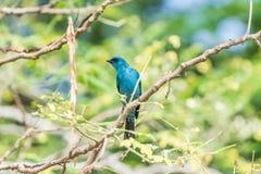 Πουλί (Verditer Flycatcher) στο δέντρο στις άγρια περιοχές φύσης Στοκ Φωτογραφίες