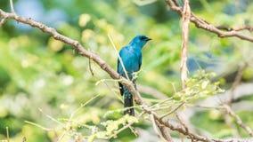 Πουλί (Verditer Flycatcher) στο δέντρο στις άγρια περιοχές φύσης Στοκ φωτογραφίες με δικαίωμα ελεύθερης χρήσης