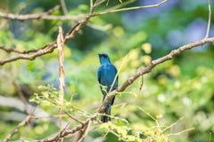 Πουλί (Verditer Flycatcher) στο δέντρο στις άγρια περιοχές φύσης Στοκ Εικόνα