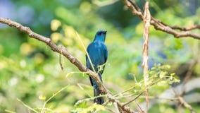 Πουλί (Verditer Flycatcher) στο δέντρο στις άγρια περιοχές φύσης Στοκ φωτογραφία με δικαίωμα ελεύθερης χρήσης