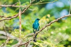 Πουλί (Verditer Flycatcher) στο δέντρο στις άγρια περιοχές φύσης Στοκ Φωτογραφία