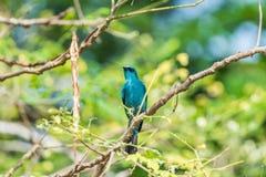 Πουλί (Verditer Flycatcher) στο δέντρο στις άγρια περιοχές φύσης Στοκ Εικόνες