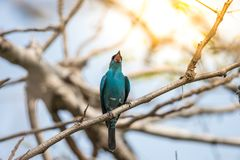 Πουλί (Verditer Flycatcher) στο δέντρο στις άγρια περιοχές φύσης Στοκ εικόνες με δικαίωμα ελεύθερης χρήσης