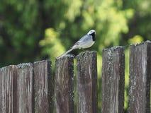 Πουλί Wagtail στον παλαιό φράκτη στοκ εικόνες