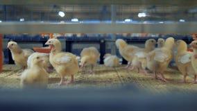 Πουλερικά, αγροτικό εσωτερικό κοτόπουλου Κοτόπουλο μωρών στο κλουβί πουλερικών 4K φιλμ μικρού μήκους
