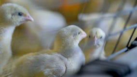 Πουλερικά κοτόπουλου στο εσωτερικό Κοτόπουλο μωρών στο αγρόκτημα κοτόπουλου φιλμ μικρού μήκους