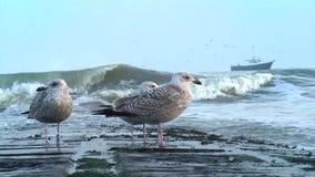 Πουλιά διακοπτών κυμάτων απόθεμα βίντεο
