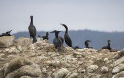 Πουλιά θάλασσας κορμοράνων μαύρου Brandt σε έναν υπόλοιπο κόσμο με τις φωλιές στοκ εικόνα