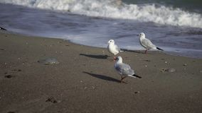 Πουλιά θαλασσίως Μαύρη Θάλασσα φιλμ μικρού μήκους