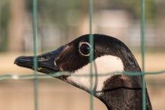 Πουλιά και ζώα στην άγρια φύση: Κινηματογράφηση σε πρώτο πλάνο της όμορφης πάπιας πίσω Στοκ Εικόνες