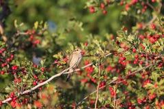 Πουλιά και μούρα Στοκ Φωτογραφίες