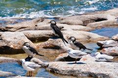 Πουλιά και seagulls λίγων κορμοράνων πιτών Στοκ Εικόνες