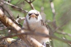Πουλιά μωρών, Αφρική - Shrike, κρανοφόρες Στοκ φωτογραφία με δικαίωμα ελεύθερης χρήσης