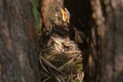 Πουλιά μωρών, chiks σε μια φωλιά στο δέντρο στη δασική κινηματογράφηση σε πρώτο πλάνο στοκ φωτογραφία με δικαίωμα ελεύθερης χρήσης