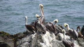 Πουλιά πελεκάνων σε μια δύσκολη παραλία στοκ φωτογραφίες