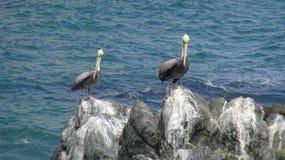 Πουλιά πελεκάνων σε μια δύσκολη παραλία στοκ εικόνα