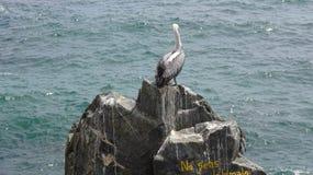 Πουλιά πελεκάνων σε μια δύσκολη παραλία στοκ φωτογραφίες με δικαίωμα ελεύθερης χρήσης